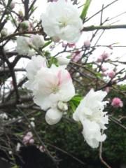 佐藤太三夫 公式ブログ/近くの桜 画像2