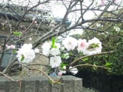 佐藤太三夫 公式ブログ/近くの桜 画像1