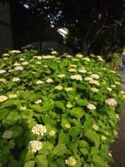 佐藤太三夫 公式ブログ/ 凄い 伸びてる 紫陽花 画像3