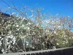 佐藤太三夫 公式ブログ/近くの桜も 画像1