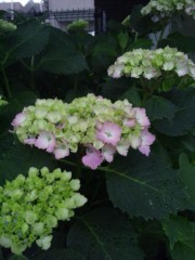 佐藤太三夫 公式ブログ/紫陽花  雨が降る 画像3
