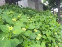 佐藤太三夫 公式ブログ/紫陽花 画像1