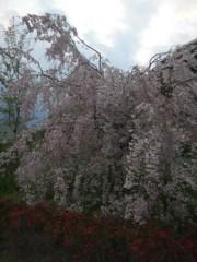 佐藤太三夫 公式ブログ/垂れ桜 画像1