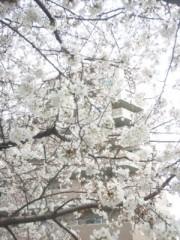 佐藤太三夫 公式ブログ/稽古場の近くの桜 画像2