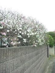 佐藤太三夫 公式ブログ/近くの桜 画像3