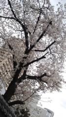 彩羽真矢 公式ブログ/桜 画像1