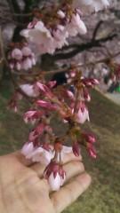 明日香 公式ブログ/桜だょり 画像3