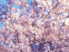 池田昌子 公式ブログ/東京の桜もこんにちは♪ 画像1