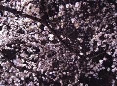 池田昌子 公式ブログ/初お花見♪ 画像1