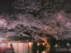 池田昌子 公式ブログ/上野の桜 画像1