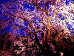 池田昌子 公式ブログ/念願だったあの枝垂桜を♪  画像1