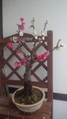 鎌田久仁宏 公式ブログ/【紅白梅】早くも満開?【盆栽】 画像1