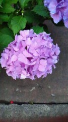 コウダリョウイチ 公式ブログ/紫陽花 画像2