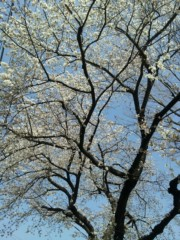 コウダリョウイチ 公式ブログ/桜日和♪ 画像1