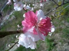 伊藤恵輔 公式ブログ/『花桃の里』お写真めどれ〜。その� 画像1