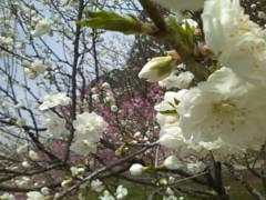 伊藤恵輔 公式ブログ/『花桃の里』にて華を愛でよう。 画像2