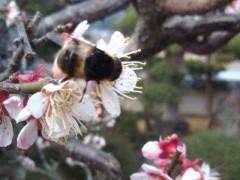 松川修也 公式ブログ/満開の梅の話にミツバチ 画像1