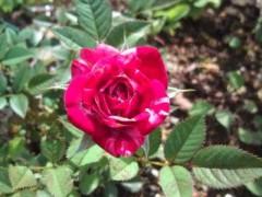松川修也 公式ブログ/我が家の初バラ 画像1