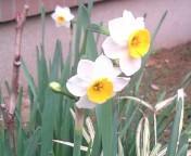 松川修也 公式ブログ/スイセンの花 画像1