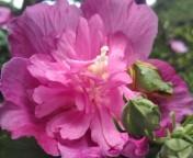 松川修也 公式ブログ/芙蓉の花 画像1