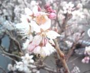 松川修也 公式ブログ/サクランボの花2012 画像1