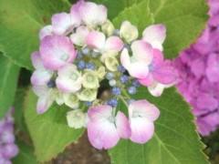 松川修也 公式ブログ/この時期は紫陽花 画像1