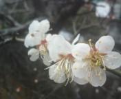 松川修也 公式ブログ/家の初梅 画像1