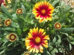 松川修也 公式ブログ/こちらはもう咲いた夏の花 画像1