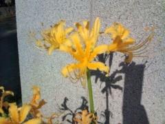 松川修也 公式ブログ/黄色の彼岸花 画像1