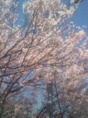 越田みゆ 公式ブログ/桜。 画像1