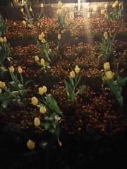 M.Rosemary 公式ブログ/チューリップは魔の花?! 画像1