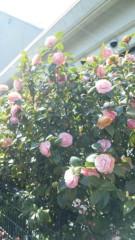 M.Rosemary 公式ブログ/椿 画像1