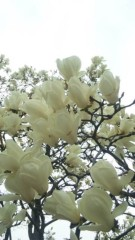 M.Rosemary 公式ブログ/白木蓮のお仕事 画像1