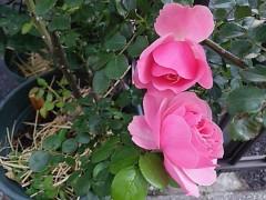 M.Rosemary 公式ブログ/花は、生まれる前から、名前が付いてる 画像1
