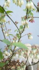 M.Rosemary 公式ブログ/ブルーベリーの花 画像1