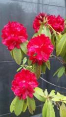 M.Rosemary 公式ブログ/赤いしゃくなげ 画像1