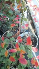M.Rosemary 公式ブログ/ブルーベリーの紅葉 画像1