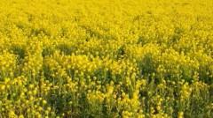 M.Rosemary 公式ブログ/菜の花畑 画像1