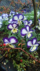M.Rosemary 公式ブログ/お花さんたち 画像2