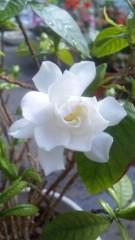 M.Rosemary 公式ブログ/ 今年いちばん くちなしちゃん 画像1