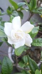 M.Rosemary 公式ブログ/くちなし 画像1