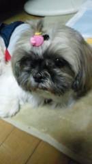 M.Rosemary 公式ブログ/シーズーのらっちょ 画像1