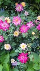M.Rosemary 公式ブログ/バラがいっぱい 画像1