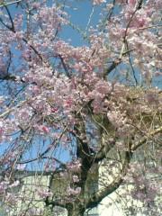 鬼塚忠 公式ブログ/しだれ桜、満開。 画像1