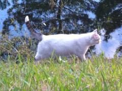 鬼塚忠 公式ブログ/猫がカルガモを狙っている 画像1