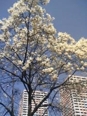 鬼塚忠 公式ブログ/もくれんの花、満開。 画像1