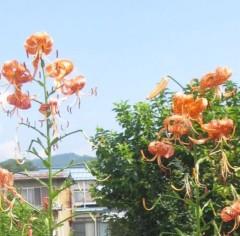 石川恵深 公式ブログ/オニユリ 画像2