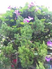 市川勝也 公式ブログ/夏の花?朝顔。 画像2