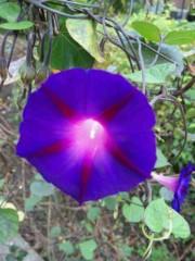 市川勝也 公式ブログ/夏の花?朝顔。 画像1