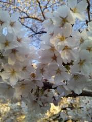 川越塔子 公式ブログ/桜咲く 画像1